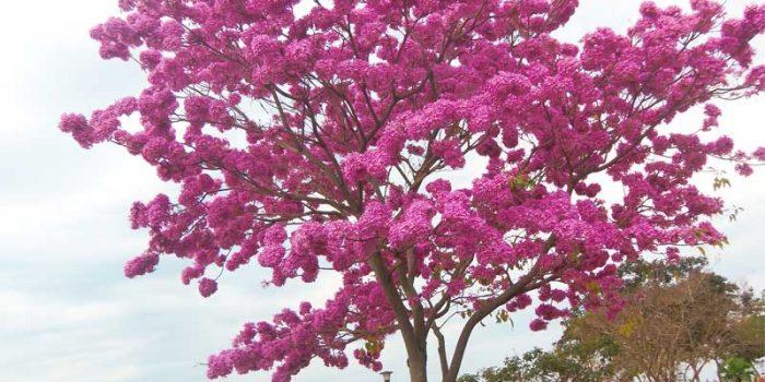 Lapacho : bienfaits, utilisation et dangers éventuels